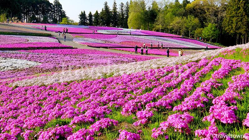 芝桜の丘(羊山公園)