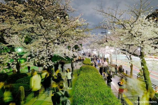 靖国通り沿いの桜