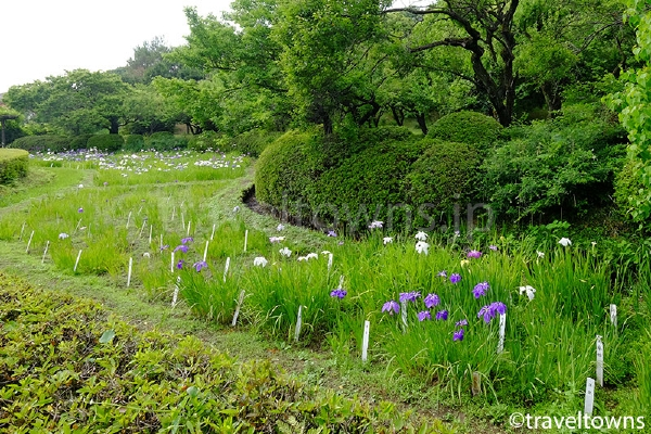 梅林の隣に広がる花菖蒲畑