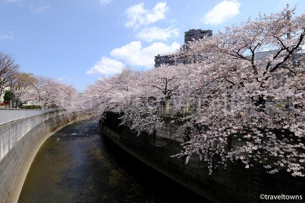 大東橋から観る桜