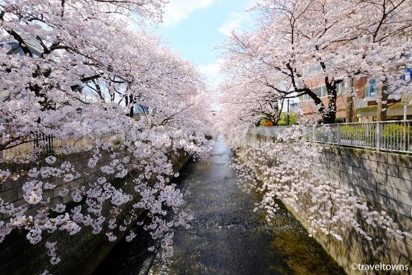 大東橋からの桜