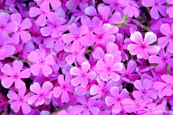 小さな芝桜の花々
