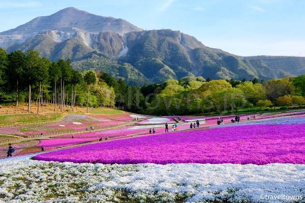 羊山公園の芝桜の丘が見頃に、西武秩父駅から歩ける春の人気スポット(2017年)