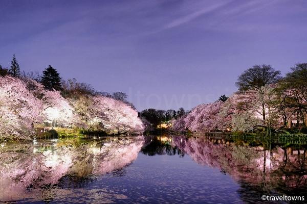 井の頭池の橋から東側の桜を望む