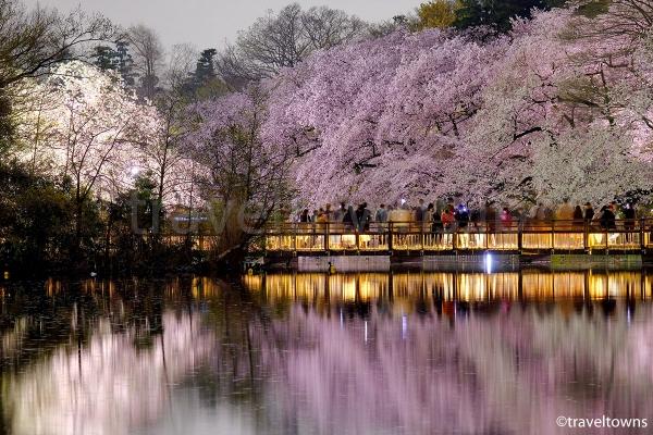 井の頭池にかかる橋と満開の桜
