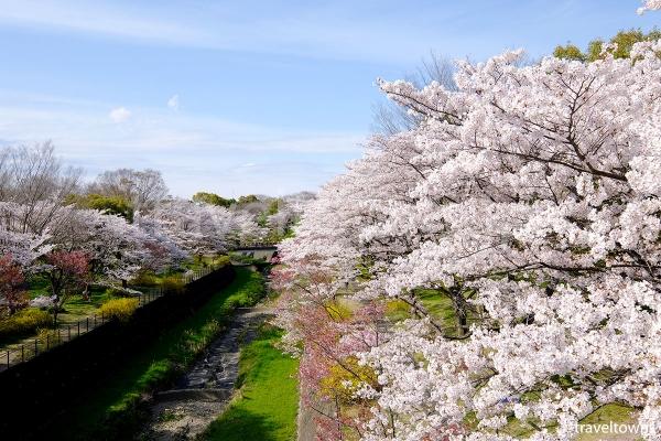 2017年、昭和記念公園の桜が満開、菜の花とチューリップも楽しめる