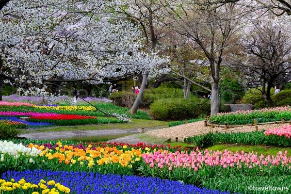 桜とチューリップの共演