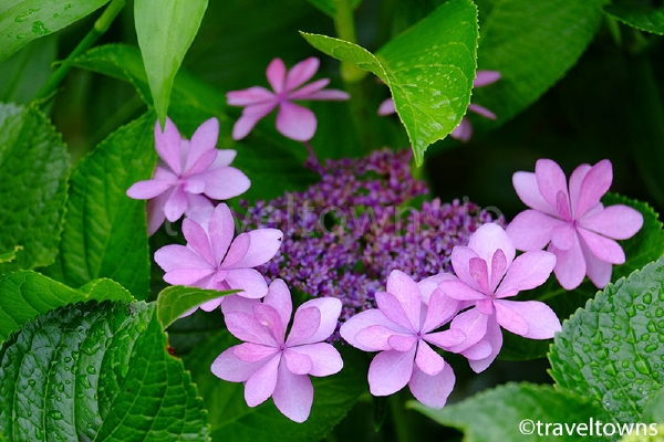 しばふの広場の紫陽花