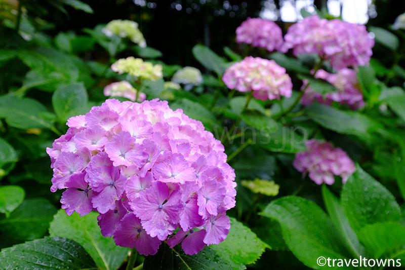 北鎌倉の円覚寺でアジサイがこれから見頃に