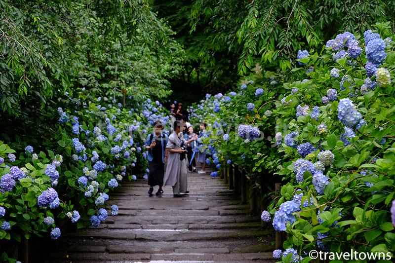 北鎌倉の明月院で一面ブルーのアジサイが見頃に