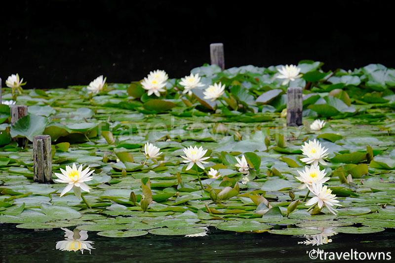 御釣台から眺めるスイレンの花