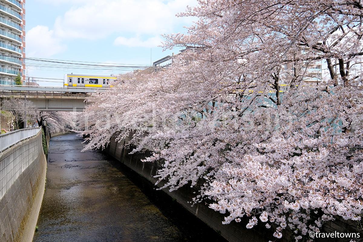 2017年、東中野の神田川沿いの桜が見頃に