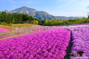 【中止】芝桜まつり(秩父)