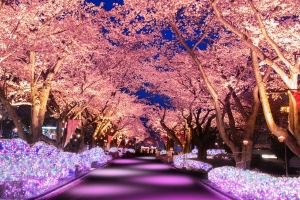 よみうりランド 夜桜ジュエルミネーション