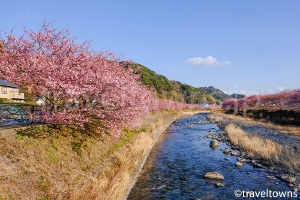 河津桜(河津町)