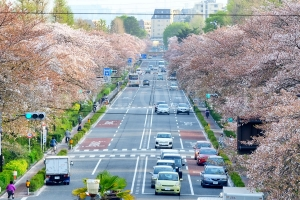 国立 大学通りの桜並木