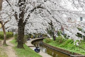 宿河原 二ヶ領用水の桜