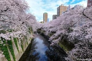 神田川の桜並木(早稲田)