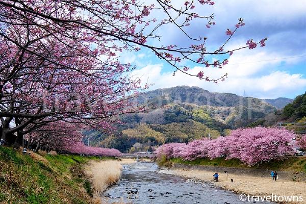 豊泉橋~かわづいでゆ橋付近の河津桜