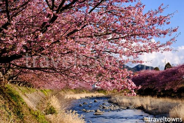 峰小橋付近の河津桜