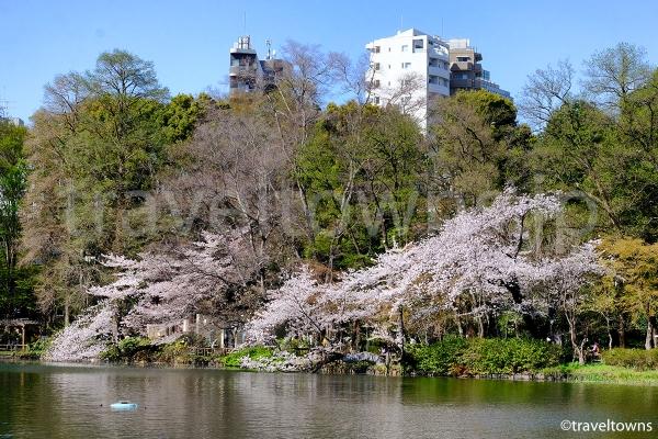 池の周囲や橋からお花見が楽しめる