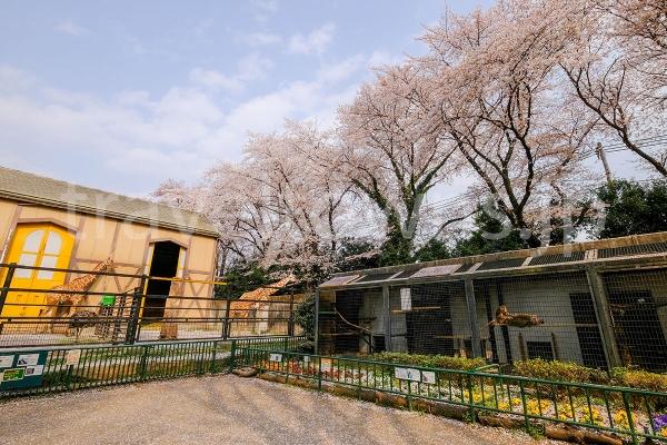 アミメキリンと満開の桜