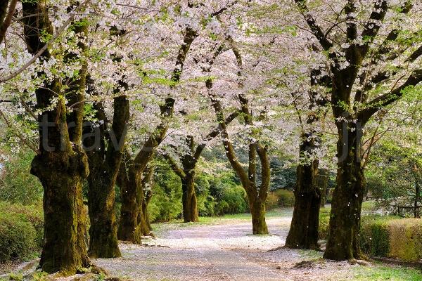 3月下旬から4月上旬にかけてはさくら並木も見所