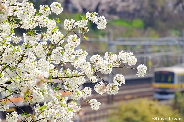 外濠の桜と総武線