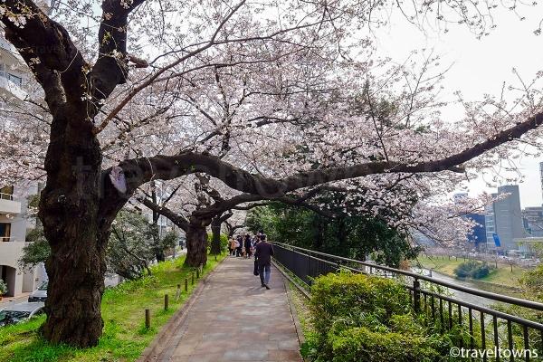 外濠の内側(南側)の遊歩道でもお花見ができる