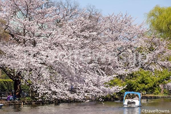 春には満開の桜でボートからお花見が楽しめる