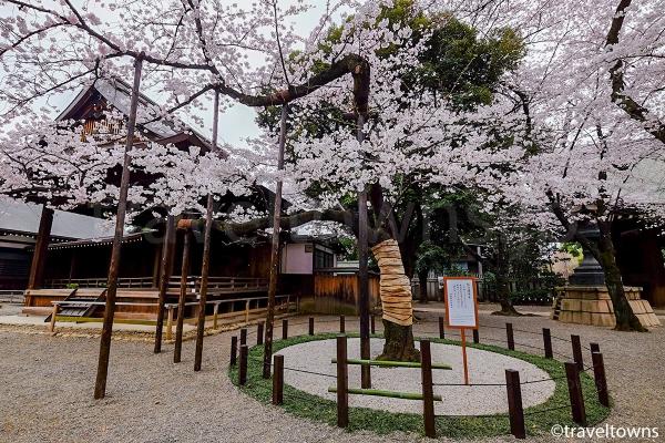 満開を迎える桜の標本木