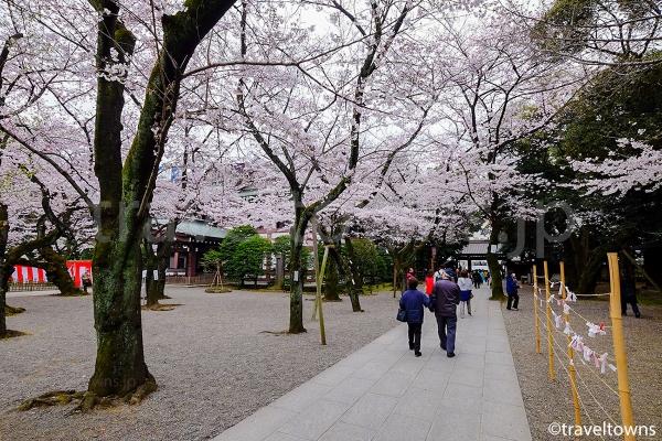 境内を歩きながら桜を楽しめる