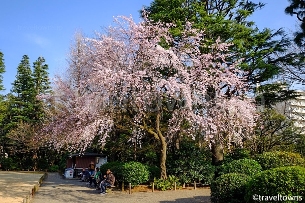 旧古河庭園では春には桜も楽しめる
