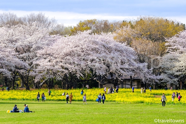 春には広々とした芝生でお花見が楽しめる