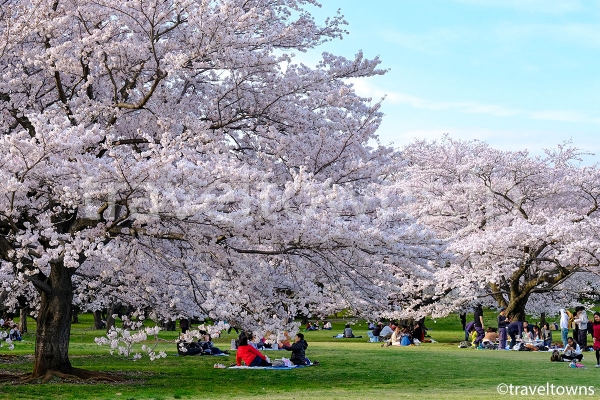 お花見でも人気の昭和記念公園