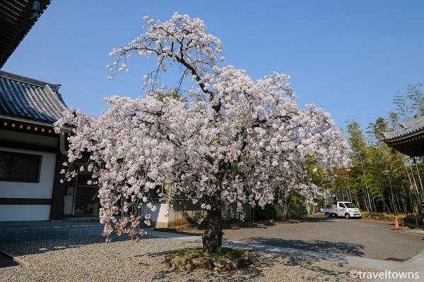西新井大師では春には桜も楽しめる