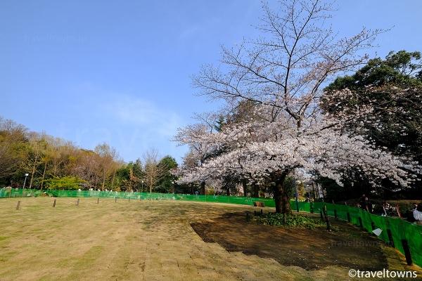菅刈公園の桜
