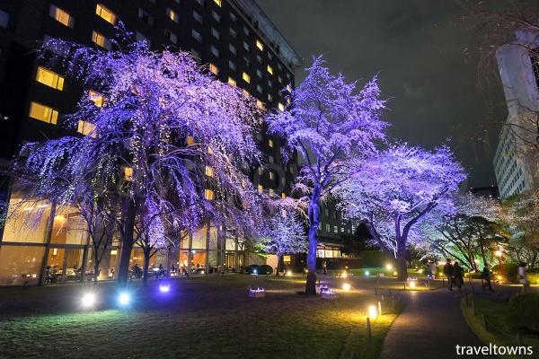 日本庭園の桜,ライトアップはラウンジ 光明からも観られる