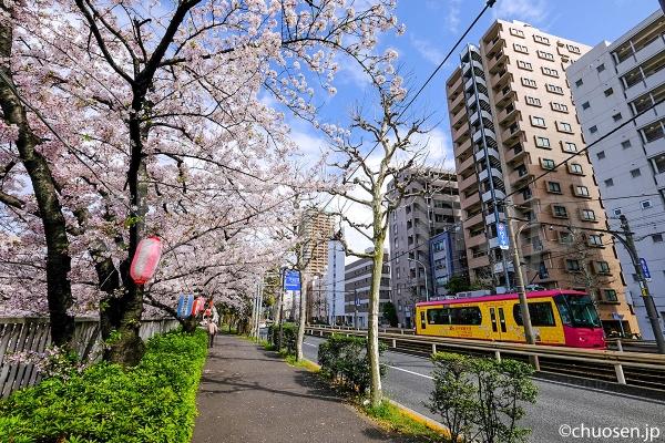 都電荒川線の面影橋停留場近くの桜