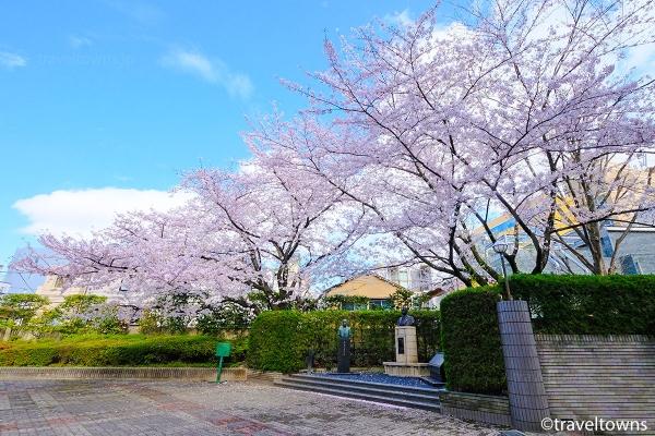 早稲田大学中央図書館前の桜