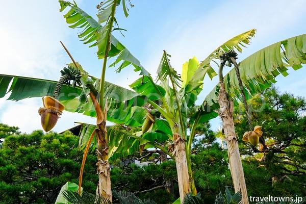 バナナと同じ種類のバショウなど様々な植物も見られる